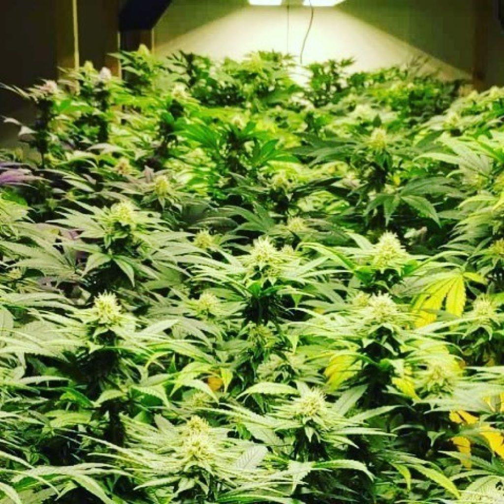 cannabis-crops-bright-light